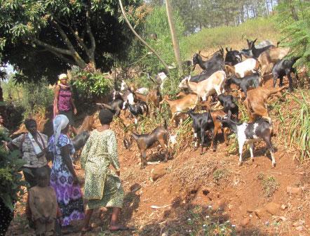 goats-hr