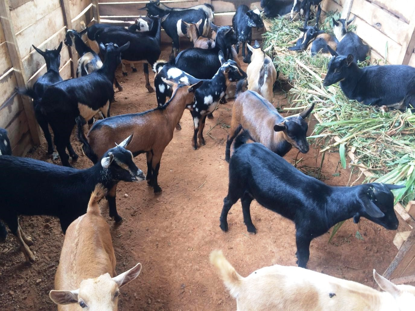 goats group