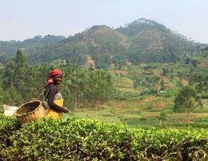 ! 7 cyangugu tea worker dm c