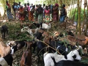 Copakika goats