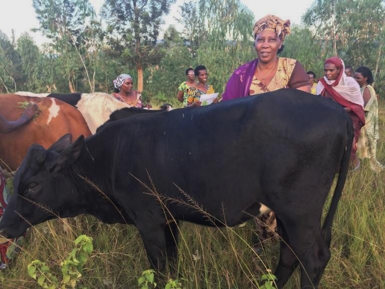 Cows Murindi