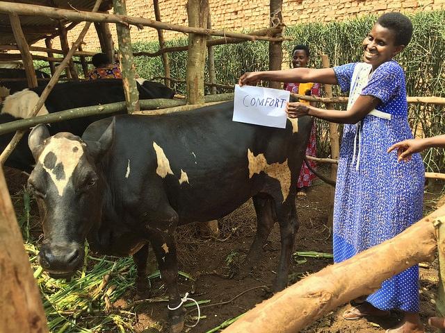 Twiyu naming cow name Comfort